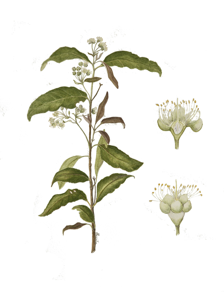 Plant-Illustration-of--Lemon-myrtle