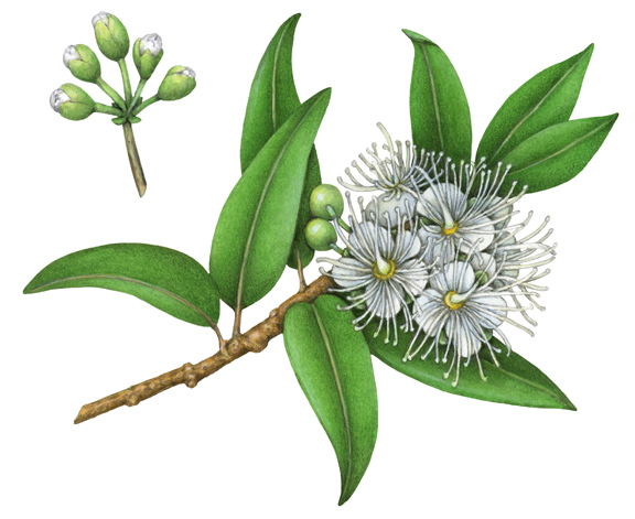 Sketch-of-Lemon-myrtle