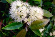 Flower-of-Lemon-myrtle