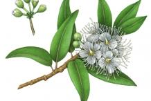 Sketch-of-Lemon-myrtle