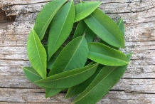Lemon-myrtle-leaves