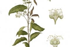 Plant-Illustration-of--Lemon-myrtle