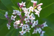 Close-up-flower-of-Lemon-Verbena