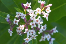 Close-up-flower-of-Lemon-Verbena