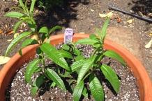 Lemon-Verbena-plant
