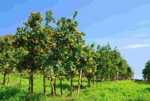 Lemon-farm