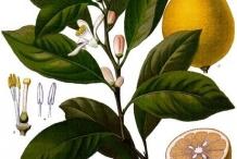 Lemon-plant-illustration