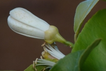 Lemon-flower-buds