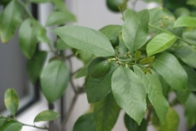 Lemon-leaves