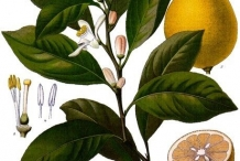 Lemon-plant-illustration
