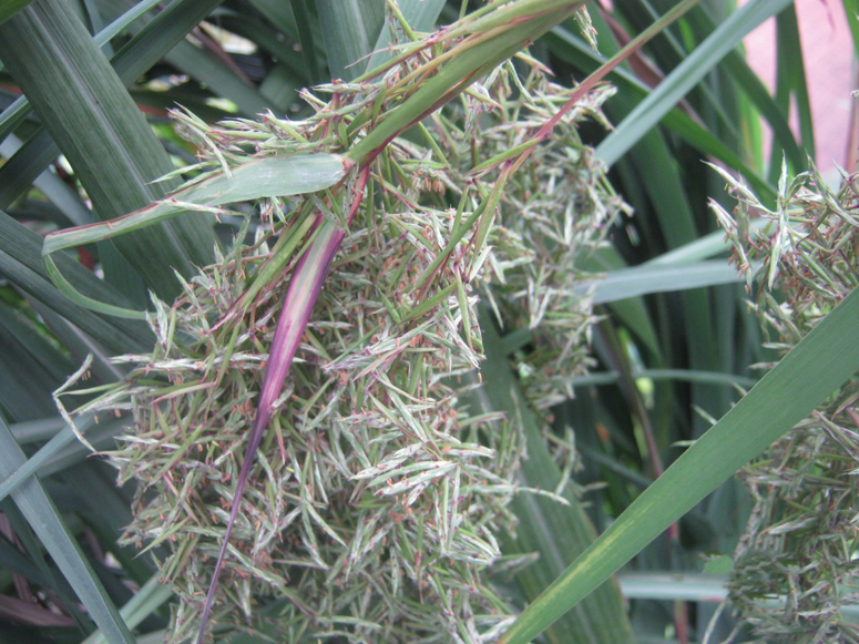 Flowering-Lemongrass-plant