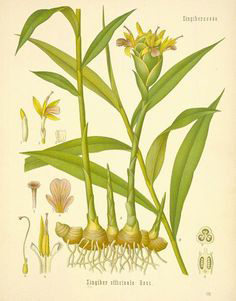 Plant-Illustration-of-Lemongrass