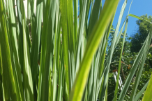 Leaves-of-Lemongrass