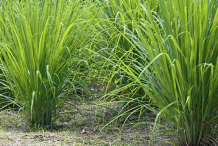 Lemongrass-Plant