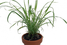 Lemongrass-plant-on-the-pot