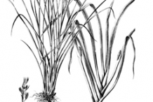 Sketch-of-Lemongrass-plant