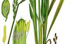 Illustration-of-Lemongrass-plant