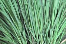 Leaves-of-Lemongrass