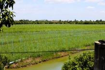Lemongrass-farm