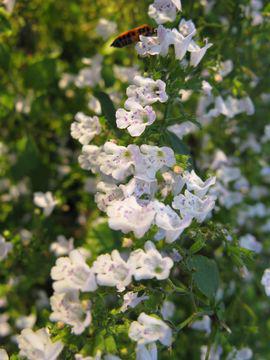 Flowers-of-Lesser-Calamint-plant