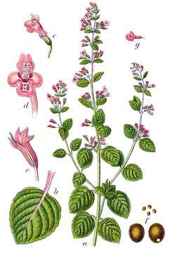 Plant-Illustration-of-Lesser-Calamint