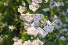Flowers-of-Lesser-Calamint-plant
