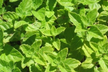 Lesser-Calamint-leaves