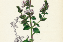 Sketch-of-Lesser-Calamint