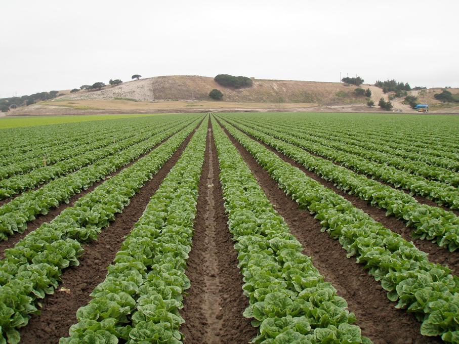 Lettuce-farm