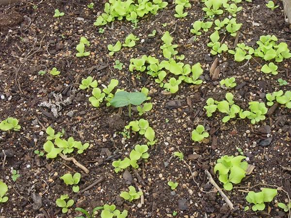Seedlings-of-Lettuce