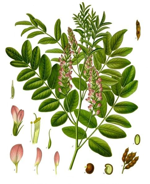Licorice-plant-Illustration