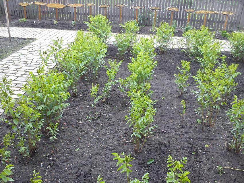 Small-Licorice-plant