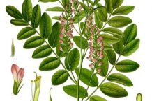 Licorice-plant-Illustration