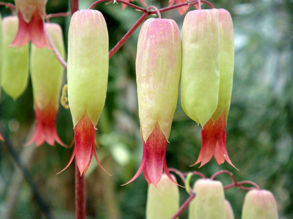Closer-view-of-Life-plant's-flower
