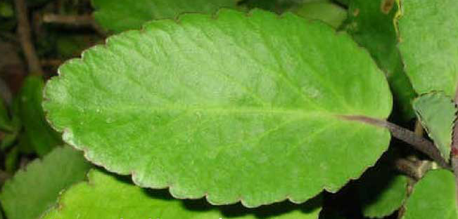 Closer-view-of-Life-plant's-leaf