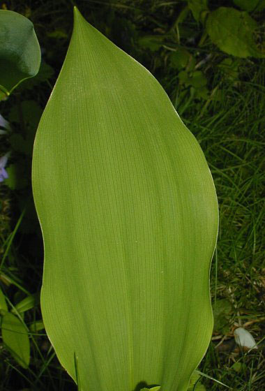 Leaves-of-Lily-of-the-Valley