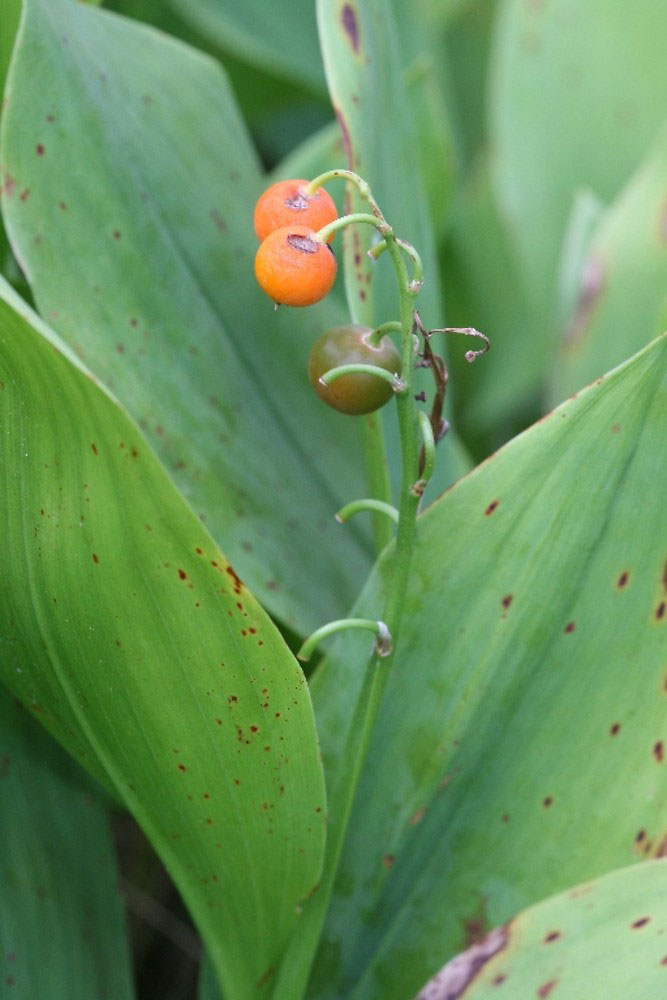Maturing-fruits-of-Lily-of-the-Valley