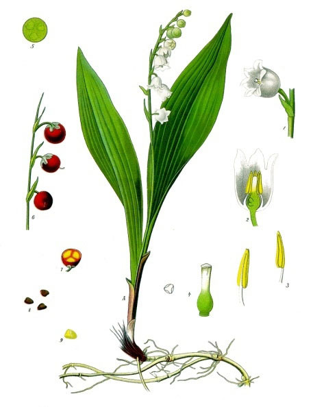 Plant-Illustration-of-Lily-of-the-Valley