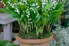 Lily-of-the-Valley-Plant-grown-on-the-pot