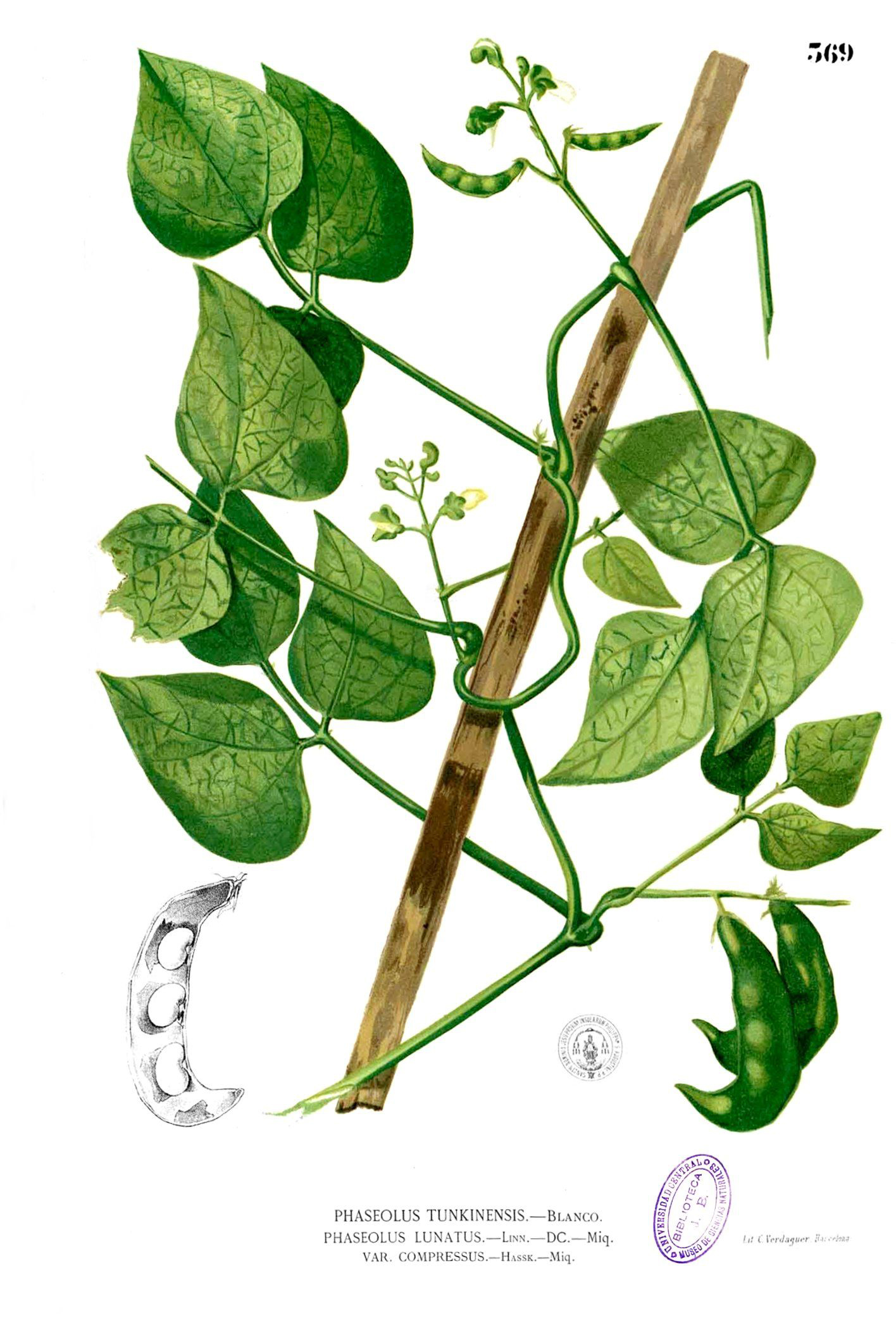 Plant-illustration-of-Lima-beans