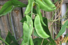 Pods-of-Lima-beans