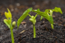 Seedlings-of-Lima-beans