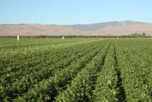 Lima-beans-farm