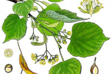 Lime-flower-plant-Illustration