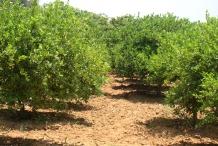 Lime-farm