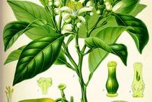 Lime-illustration