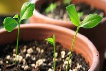 Lime-seedlings