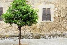 Lime-tree