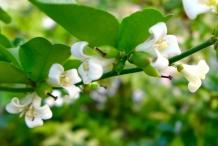Limeberry-flower