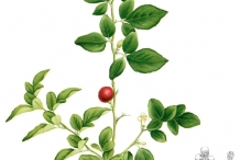 Limeberry-plant-illustration